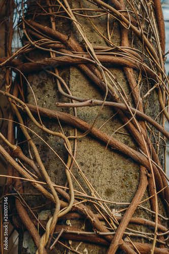 Fototapeta Concrete lamppost entwined with wild grape vines against a clear sky