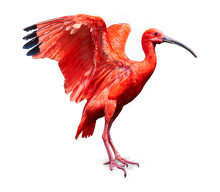 Beautiful Red Bird, Scarlet Ib...