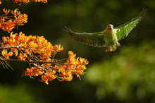 Orange-winged Parrot, Amazona Amazonica, Green Parrot Flying Next To Bright Orange Flowers Of Immortelle Tree, Erythrina Poeppigiana. Tobago Island, Trinidad And Tobago.