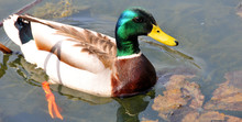 Male Mallard Or Wild Duck (Anas Platyrhynchos) Is A Dabbling Duck Which Breeds Throughout The Temperate And Subtropical Americas, Eurasia, And North Africa,