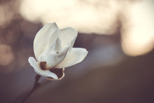 Blooming Bud White Magnolia On...
