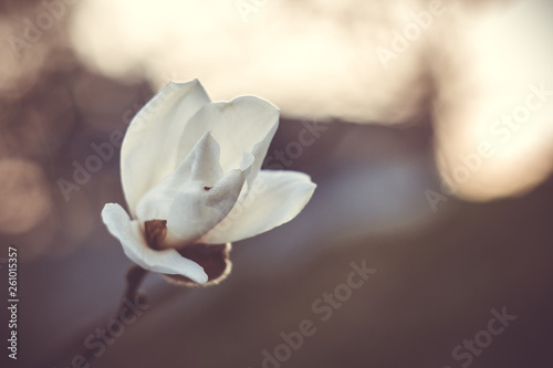 Foto  Blooming bud white magnolia on a tree branch close-up on a blurred background