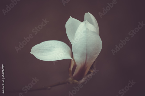 Fotografie, Obraz  Blooming bud white magnolia on a tree branch close-up on a blurred background