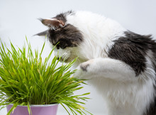Main Coon Cat Eating The Grass...