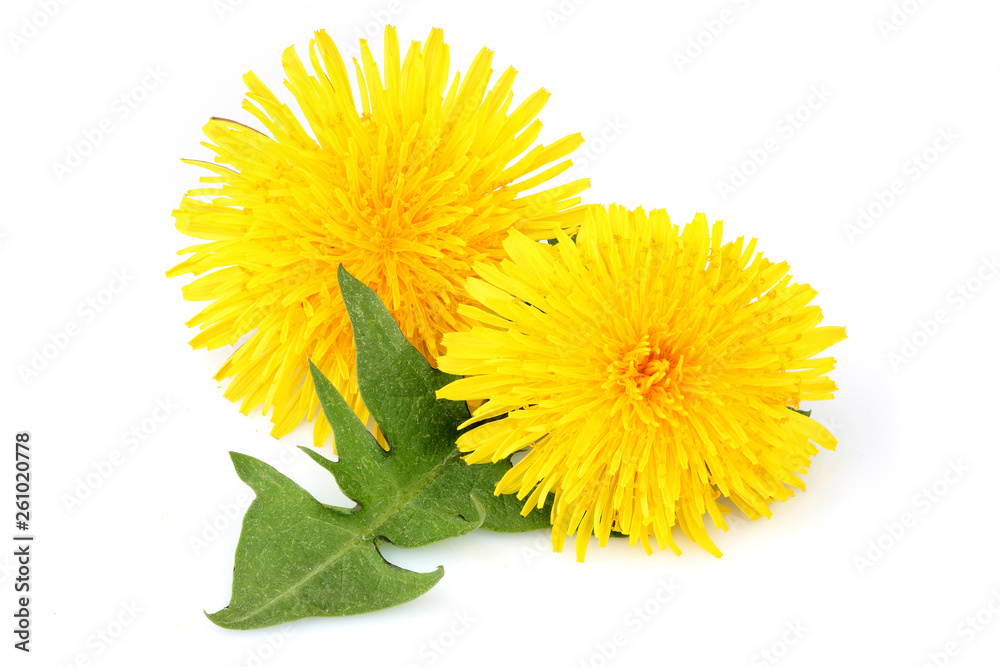 Fototapety, obrazy: Dandelion flowers with leaf, isolated.