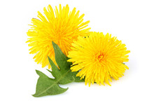 Dandelion Flowers With Leaf, I...
