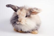 Fluffy Lop-eared Dwarf Rabbit On White Background