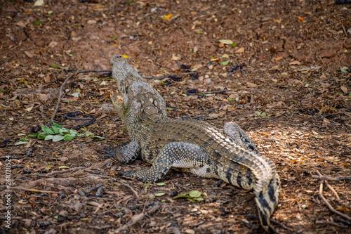 Poster Crocodile Siamese crocodile in nature