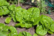 Littl Egem Lettuces In A Vegetable Plot