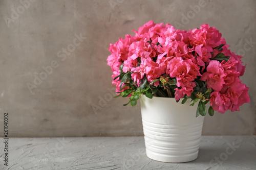 Photo Pot with beautiful blooming azalea on table