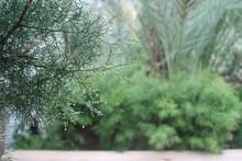 Cedar Tree Branch With Raindrops