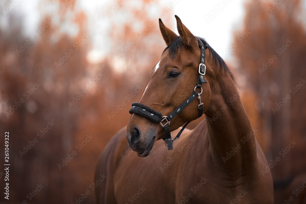 Fototapeta portrait of beautiful mare horse with white spot in forehead in the evening in autumn landscape