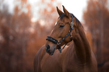 Portrait Of Beautiful Mare Horse With White Spot In Forehead In The Evening In Autumn Landscape