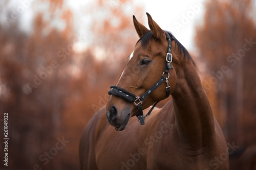 Fototapeta portrait of beautiful mare horse with white spot in forehead in the evening in autumn landscape obraz