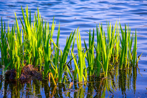 Obraz na plátne Young green stems sedge on the background  blue water in the river_