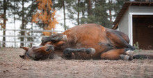 Portrait Of Mare Horse Laying On The Ground In Autumn Landscape