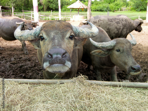 asiatischer wasserbüffel