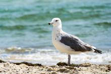 Seagull Portrait Against Sea Shore. Close Up View Of White Bird Seagull Sitting By The Beach.