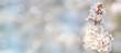 canvas print picture - Baum Blutpflaume blüht im Frühling und leuchtet im Sonnenlicht
