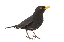 Blackbird, Turdus Merula, Isol...