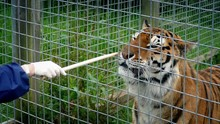 Tiger Being Hand Fed In Enclos...