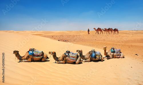 Fotografia Camels in sand dunes of Sahara desert. Tunisia, North Africa