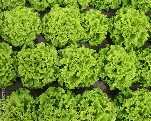 Cadres-photo bureau Olive background of green of lettuce