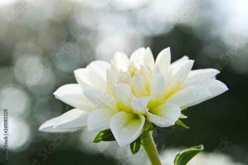 Poster de jardin Nénuphars Weiße Blume im Bokeh