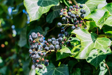 Ivy, Hedera Helix Is An Evergreen Climbing Plant Growing  High Where Suitable Surfaces (trees, Cliffs, Walls) Are Available