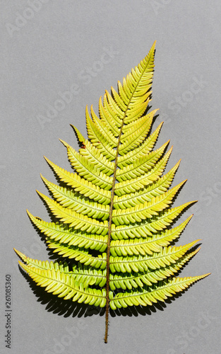 Fern Leaf Resembling A Christmas Tree On Grey Paper Background