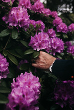 Male Hand Picking A Rhododendron Flower