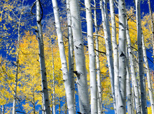 Aspens (Populus Tremuloides) In Full Autumn Color In The San Juan Wilderness Of Southwestern Colorado.