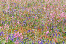 A Mass Of Wildflowers - Bluebells And Red Campion