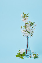 Blooming Cherry Branch In A Glass Vertical Transparent Vase On A Blue Background.