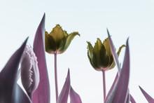 Infrared: Tulip Flowers Against Blue Spring Sky