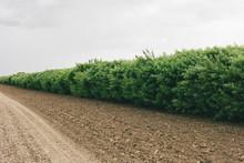 Dirt Road And Hedge, Saskatchewan, Canada