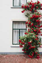 Red Roses Climbing Against A White Facade Of A House
