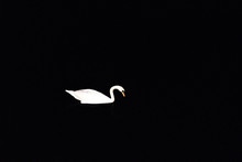 White Swan On Dark Water