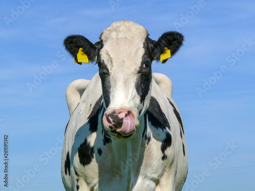 Keuken foto achterwand Koe Nose-picking cow, black and white with ear tags in front of a blue sky.