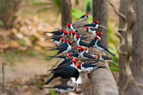Fotografija  Group of Cardinals Feeding in Pantanal, Brazil