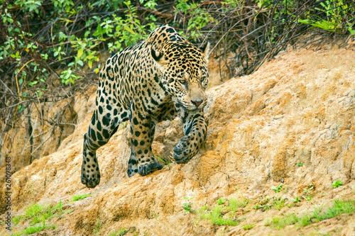 Fotografija  Young Jaguar Walking near the River in Pantanal, Brazil