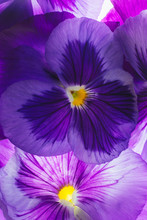 Closeup Of Fresh Purple Pansies