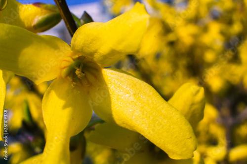Fototapeta Blooming forsythia bush