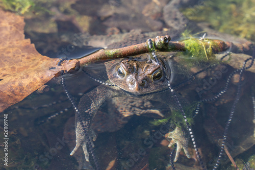 Fototapeta Close-up of American toad in pond wrapped in tadpole eggs