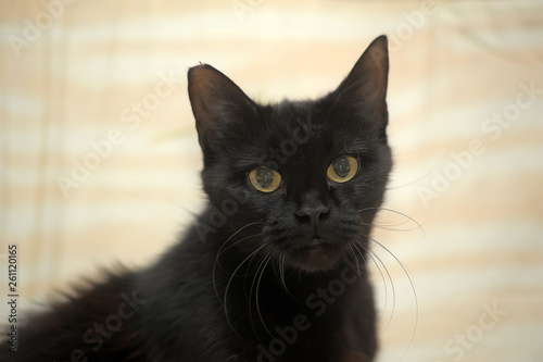 Fotografia  graceful black short-haired home cat