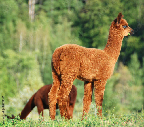 Poster Lama Alpaca is a domesticated species of South American camelid. It resembles a small llama in appearance.Alpacas are kept in herds that graze on the level heights of the Andes of southern Peru