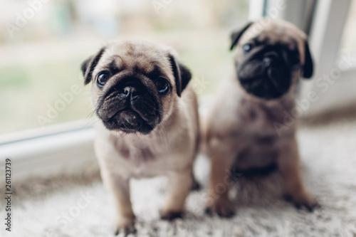 Pug dog puppies sitting on window sill  Little puppies