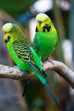 Two Budgerigars Parrot Birds N...