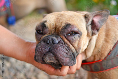 Obraz na płótnie French Bulldog dog with swollen face and red puffy eyes after suffering an aller