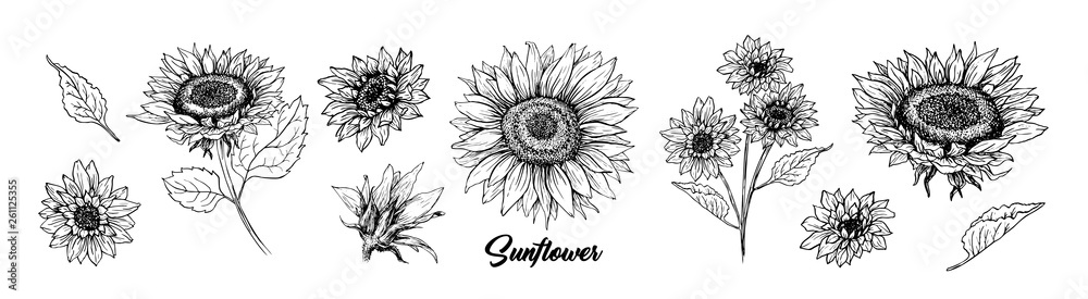 Fototapeta Sunflower hand drawn vector collection. Floral ink pen sketch. Black and white clipart. Realistic wildflower freehand drawing. Isolated monochrome floral design element. Sketched Helianthus outline